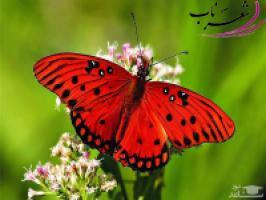 هلهله ی پروانه ها